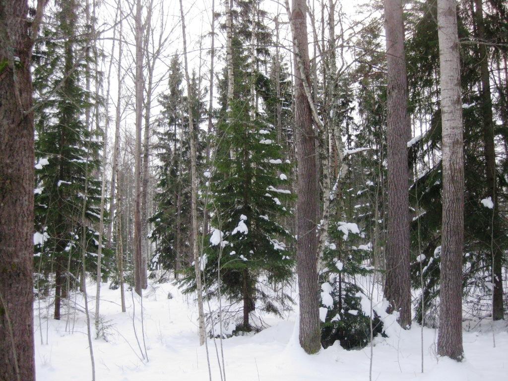 Talvista metsää