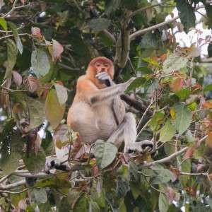 Proboscis monkey nenäapina Borneo