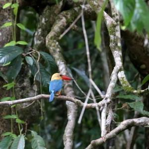 Kingfisher Kinabatang river Malesia Borneo