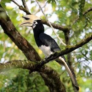 Hornbill Kinabatang river Sabah Malaysia