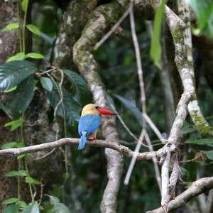 Kingfisher Sabah Kinabatang River Malaysia