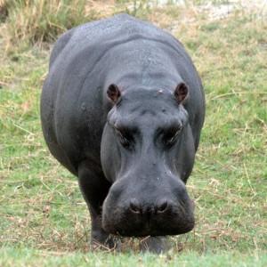 Hippo Chobe Botswana