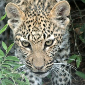 Leopard Chobe Botswana