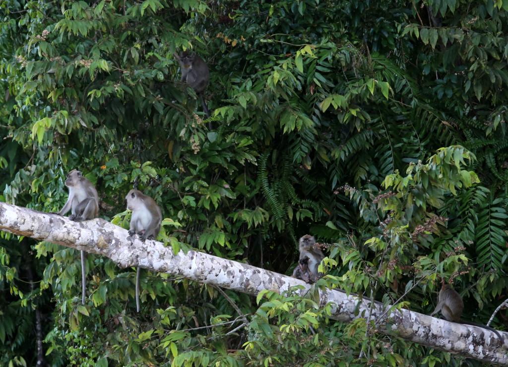 Macaques Kinabatang river Borneo Malesia