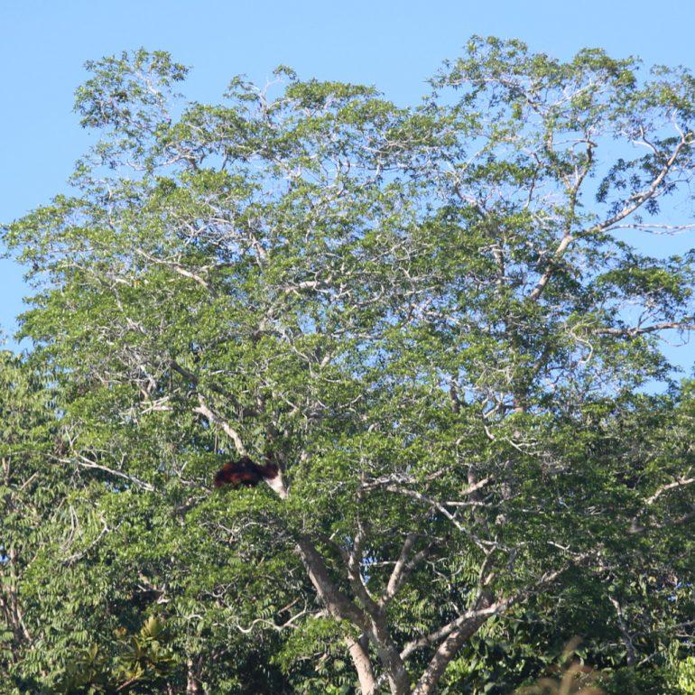 Villi orangutangi Kinabatang -joella