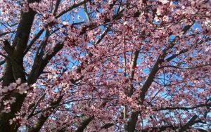 Spring blossom Oakhurst