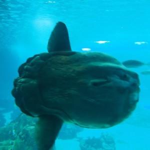 Ocean sunfish Oceanario Lissabon Portugal