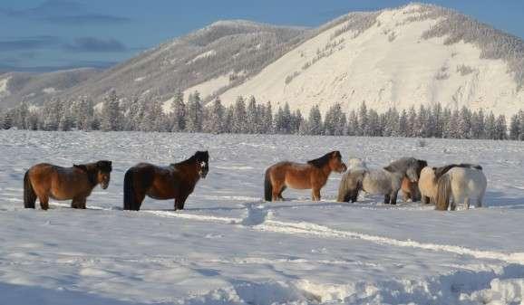 Jakuutti hevoset (Ari-Al Travel)