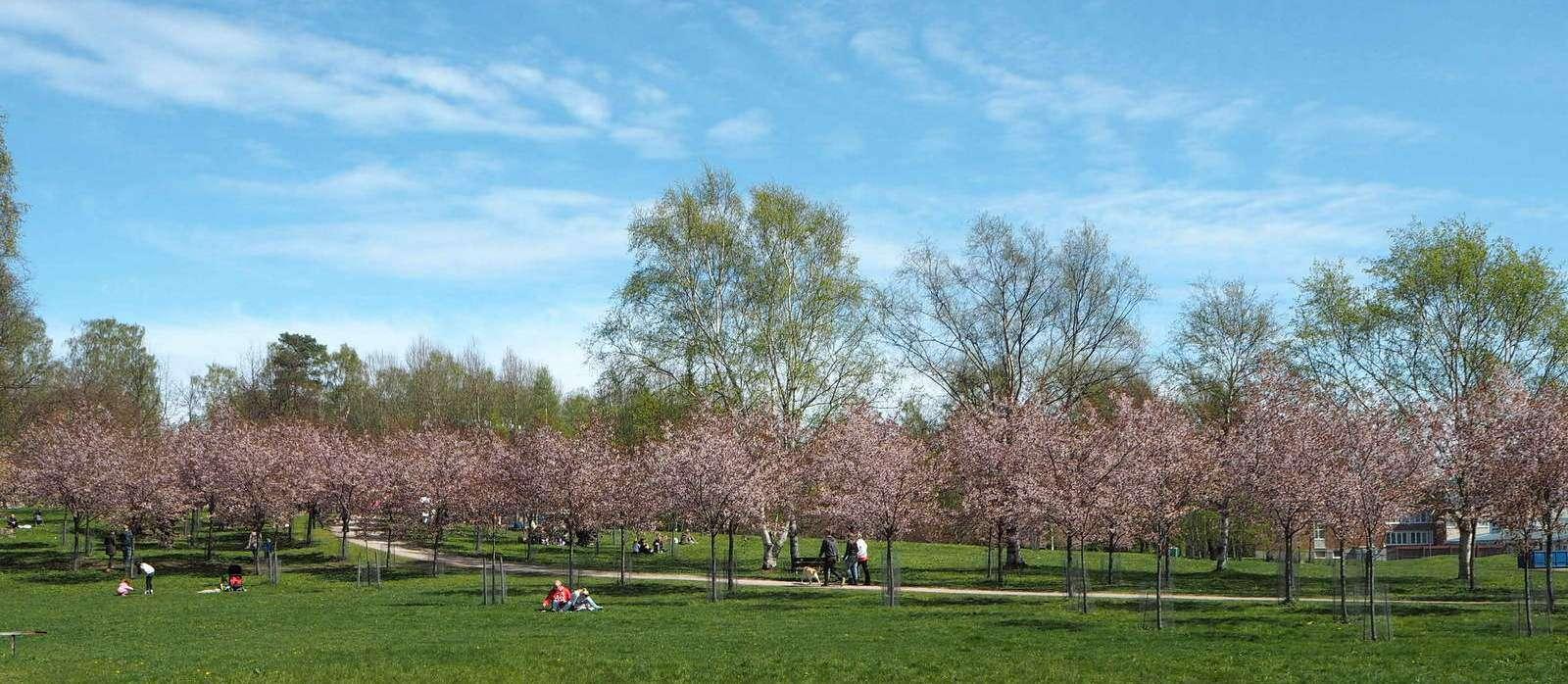 Roihuvuoren kirsikkapuisto
