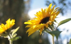 Auringonkukkia kotipihalla
