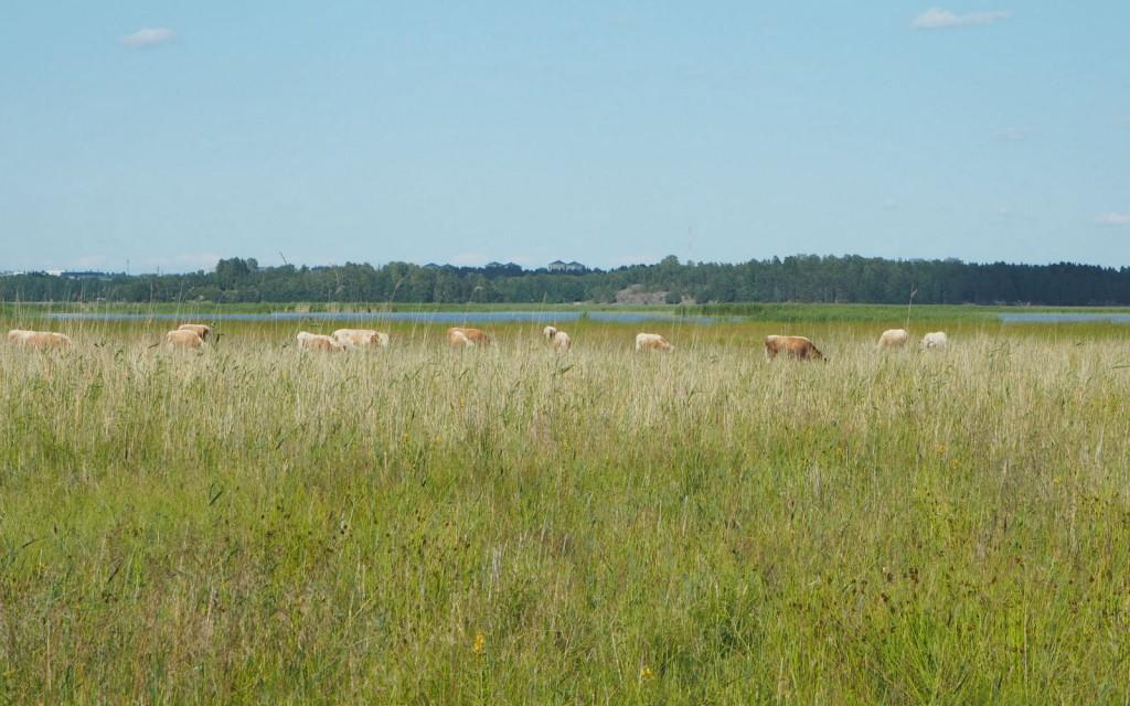 Laajalahti Espoo lehmiä