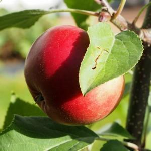 Kesän omenasadon puolikas