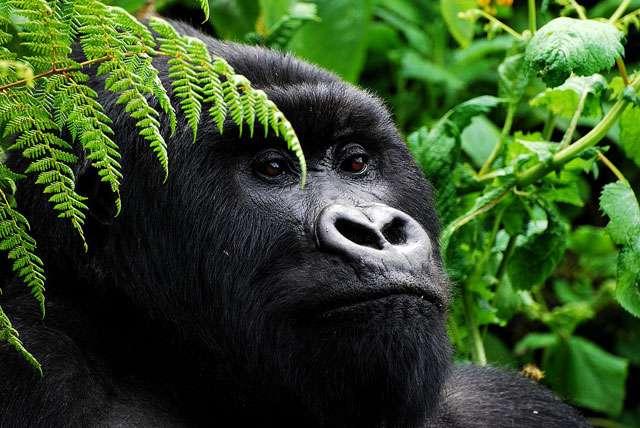 Ruanda gorilla