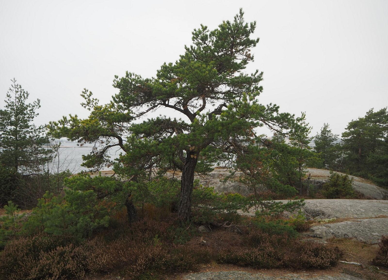 Mänty Hanko 2015