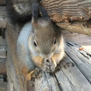 Orava, Seurasaari