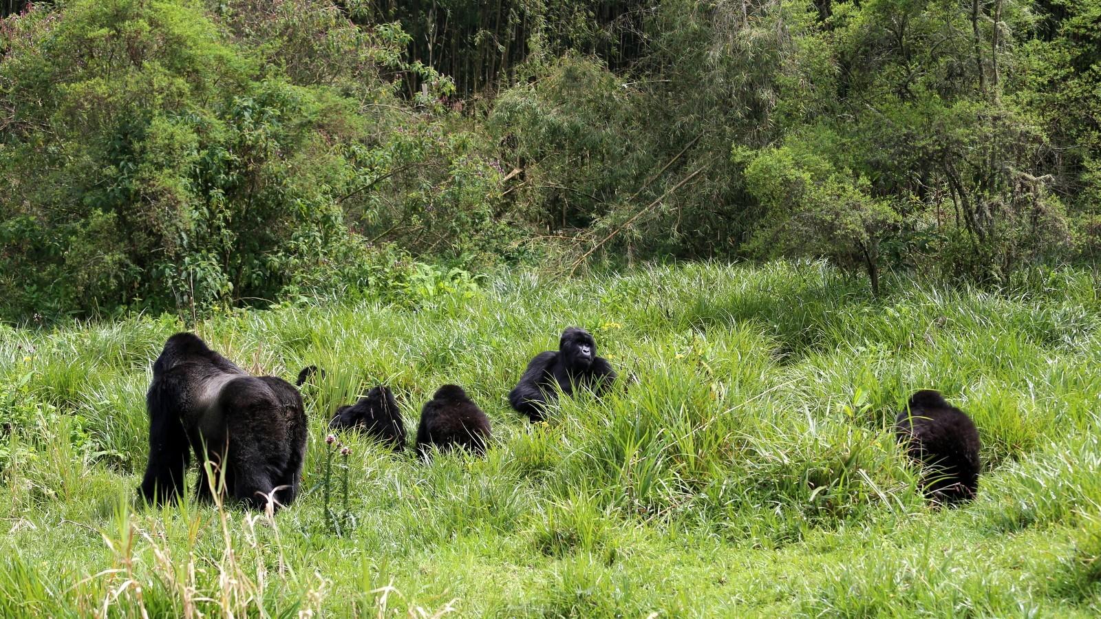 Rwanda mountain gorillas farewell