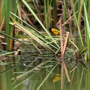 Lake Muhele weawerbird