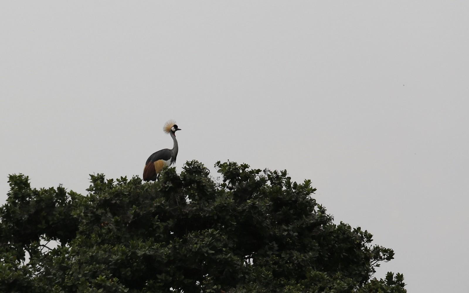 Kruunukurki Crested Crane