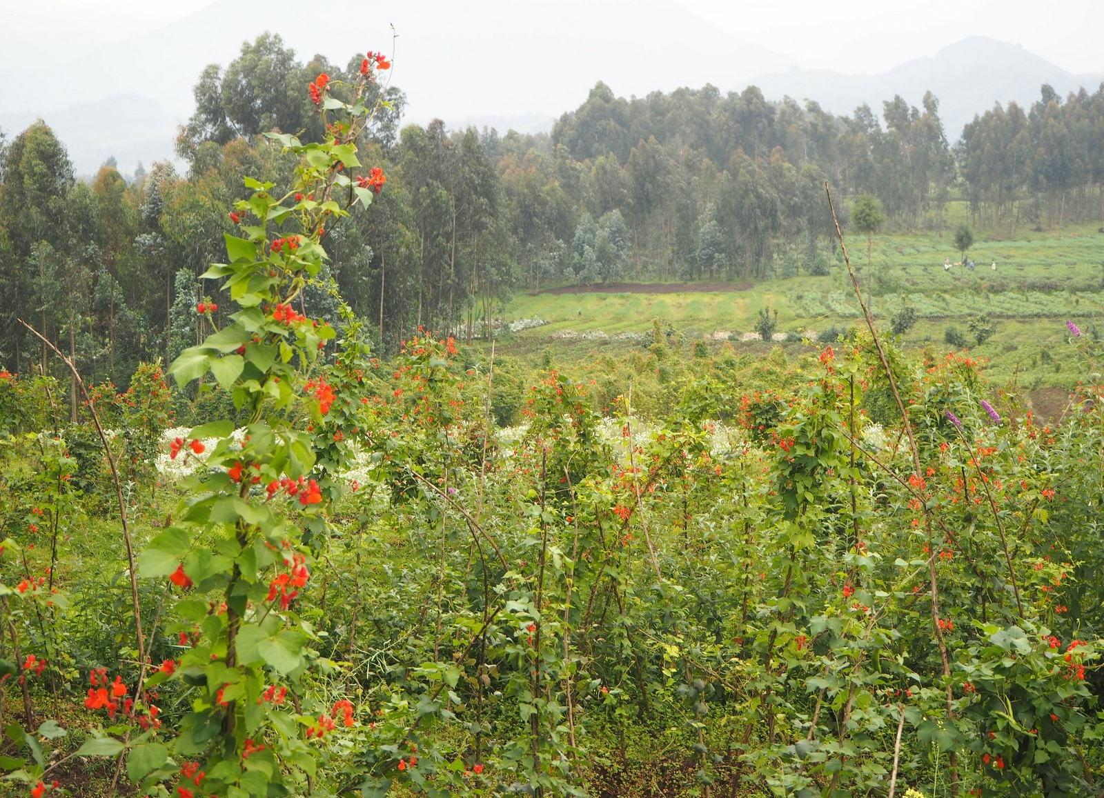Rwanda Mountain Gorillas - path to the mountain