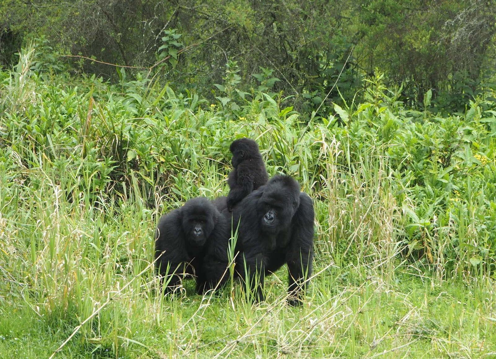 Rwanda mountain gorillas family