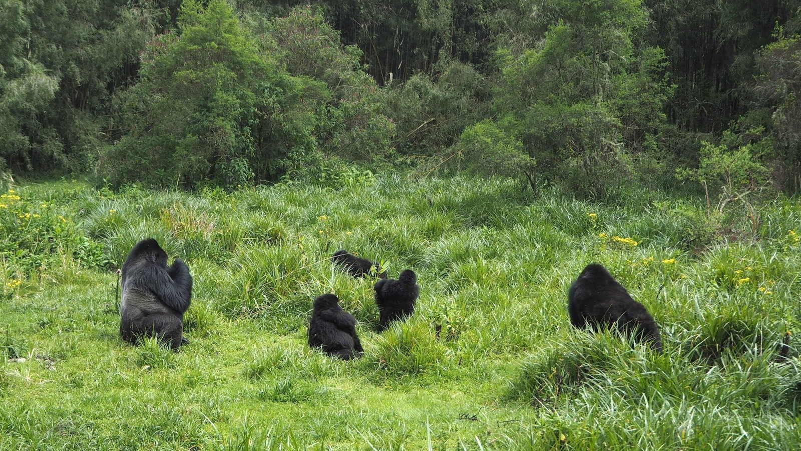 Rwanda mountain gorillas - first encounter