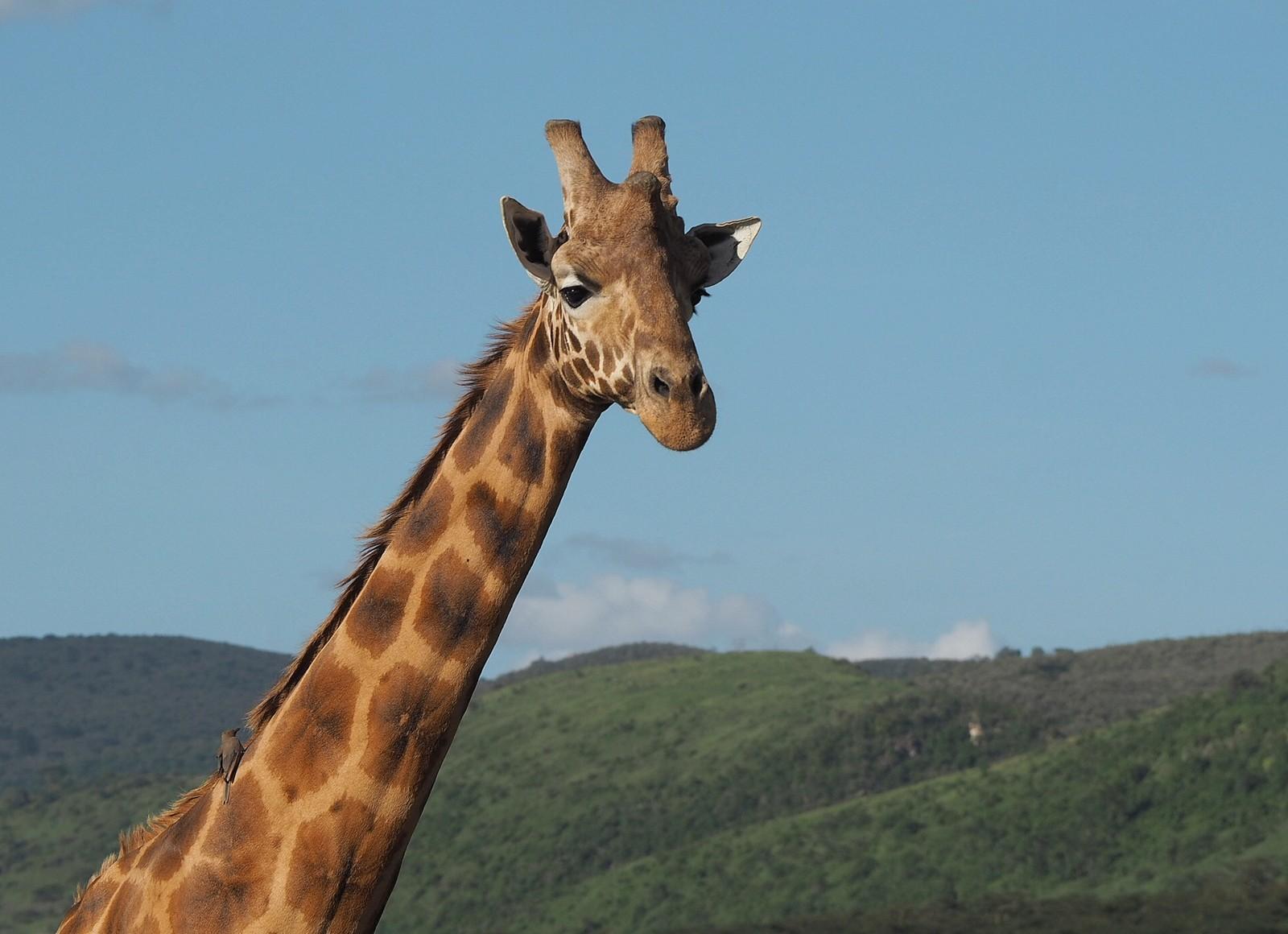 Rothschildin kirahvi Nakuru Kenia
