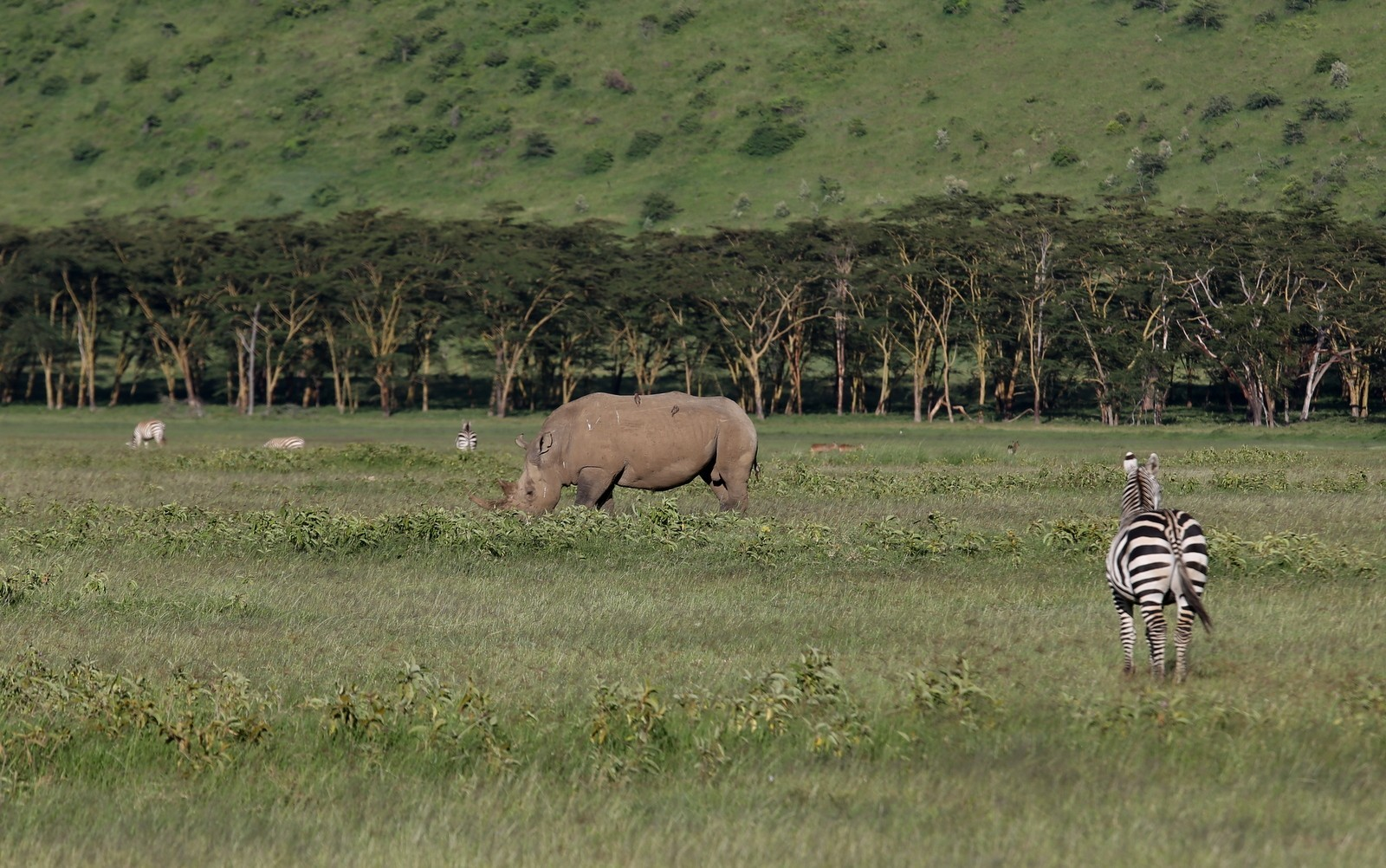 Isosarvikuono Nakuru Kenia