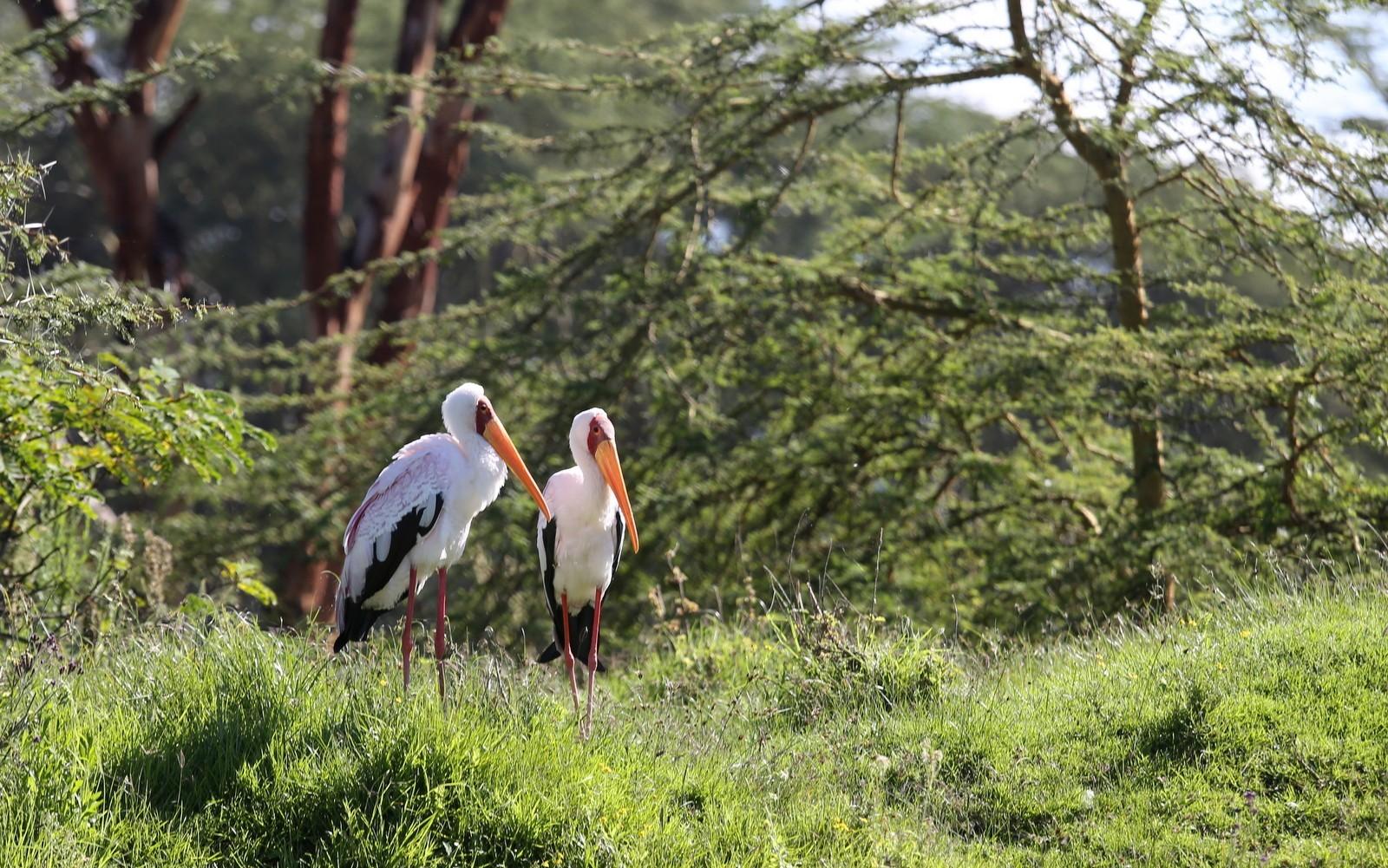 Yellow billed stork Afrikan ibishaikara Naivasha