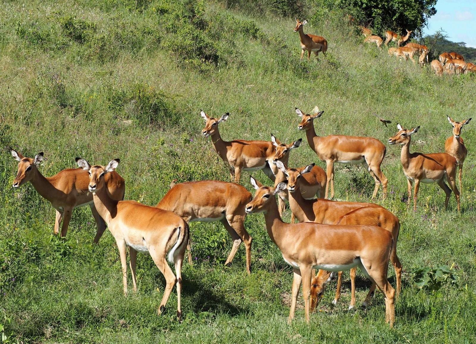 Impaloita Nakuru Kenia