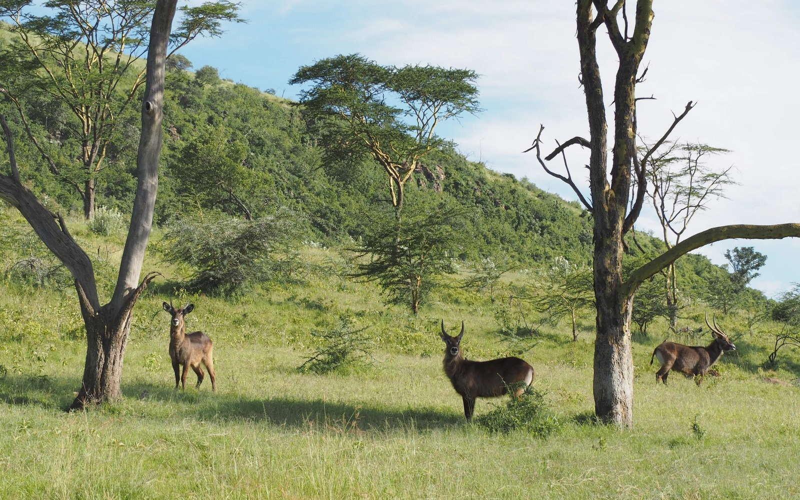 Vesiantilooppeja Nakuru Kenia