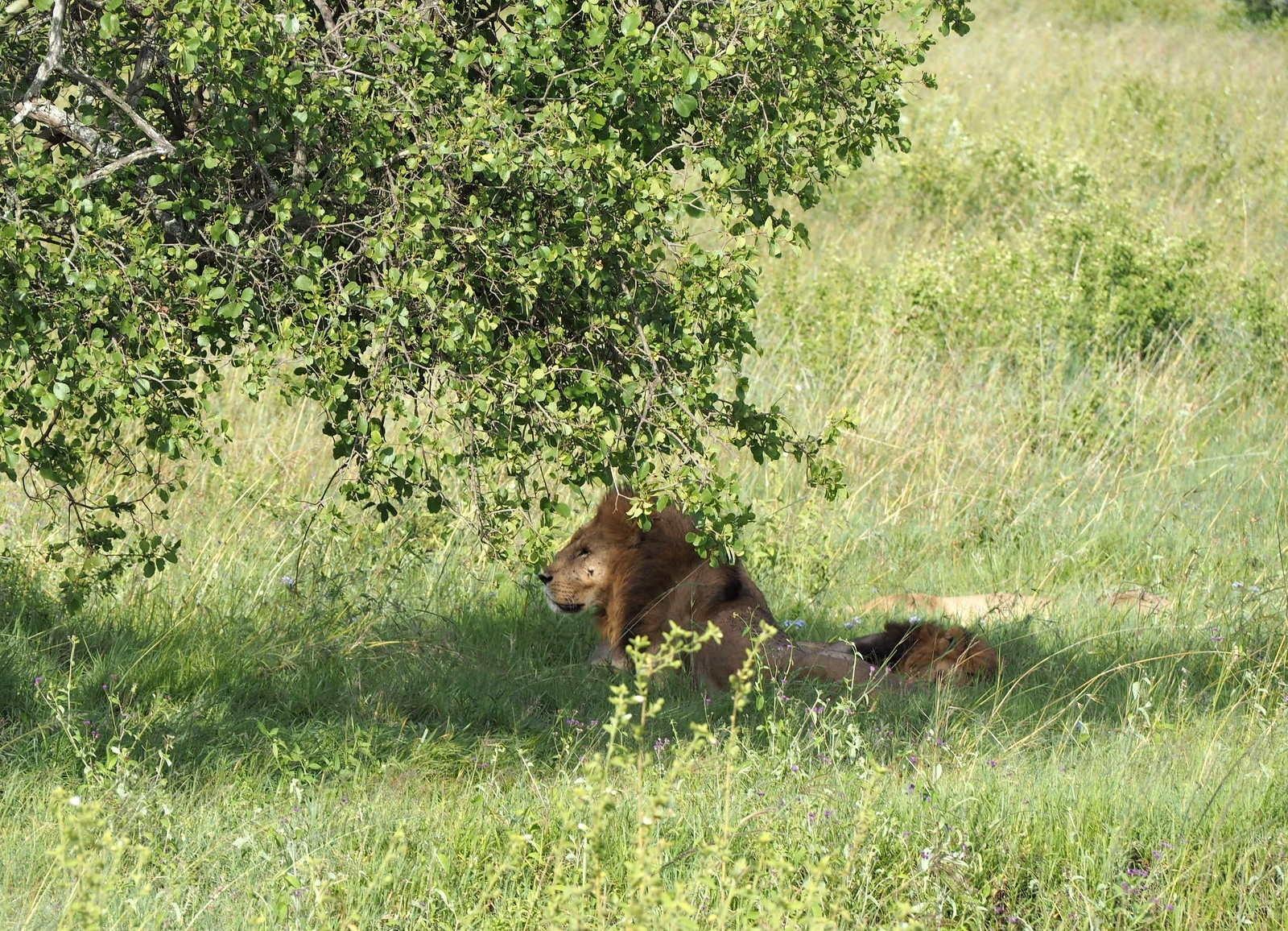 Leijona Nakuru Kenia