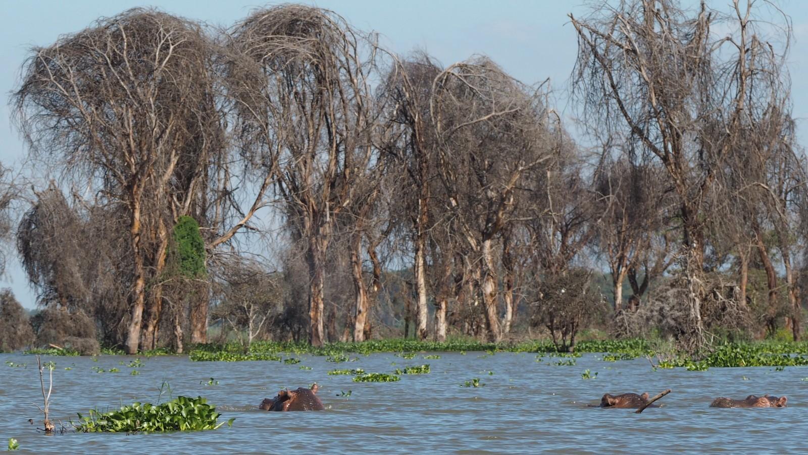 Hippos Naivasha
