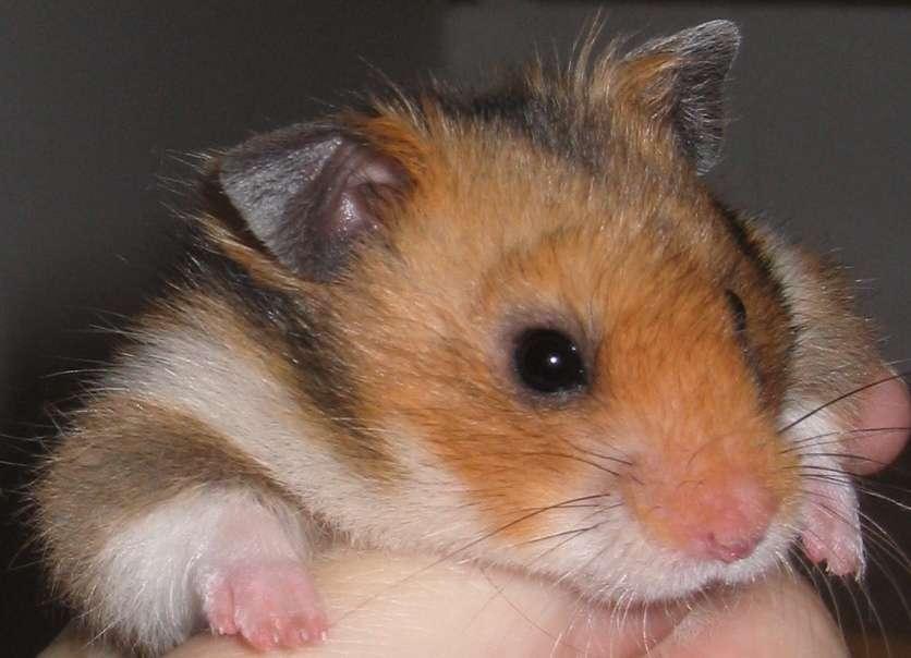 Hamsterimme Basel