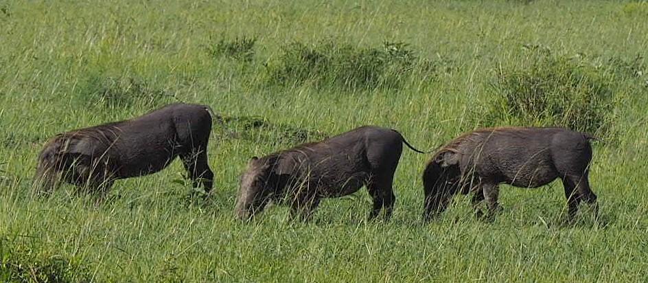 Pahkasikoja Masai Mara