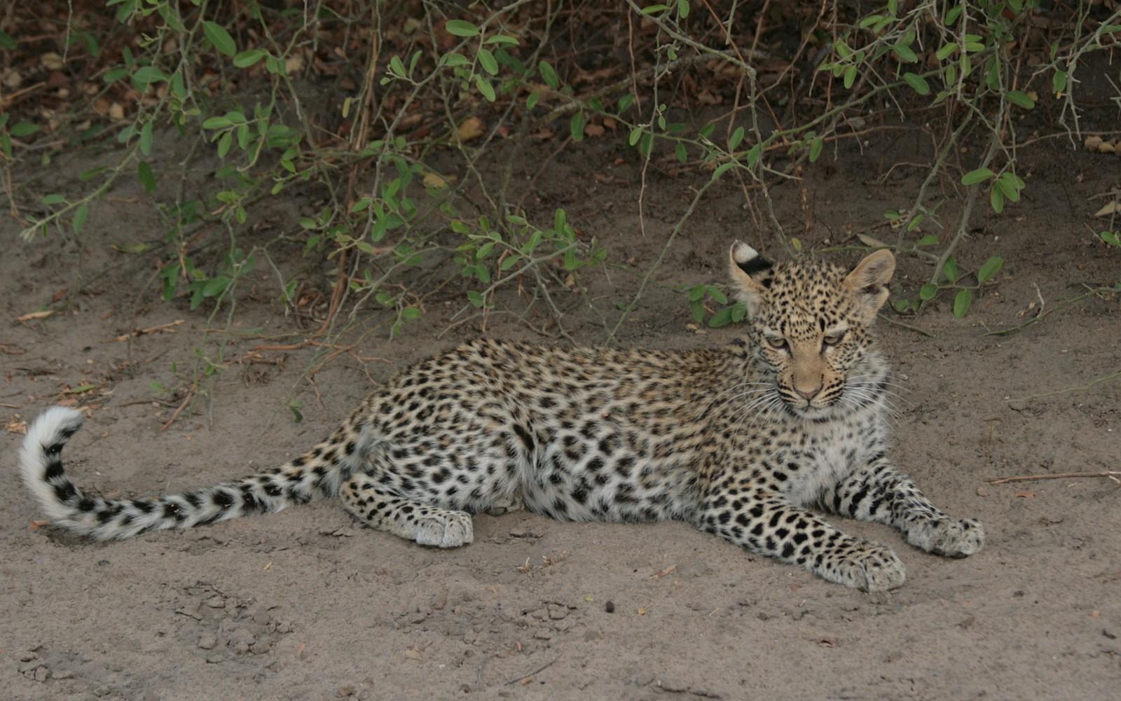 leopardi Chobe
