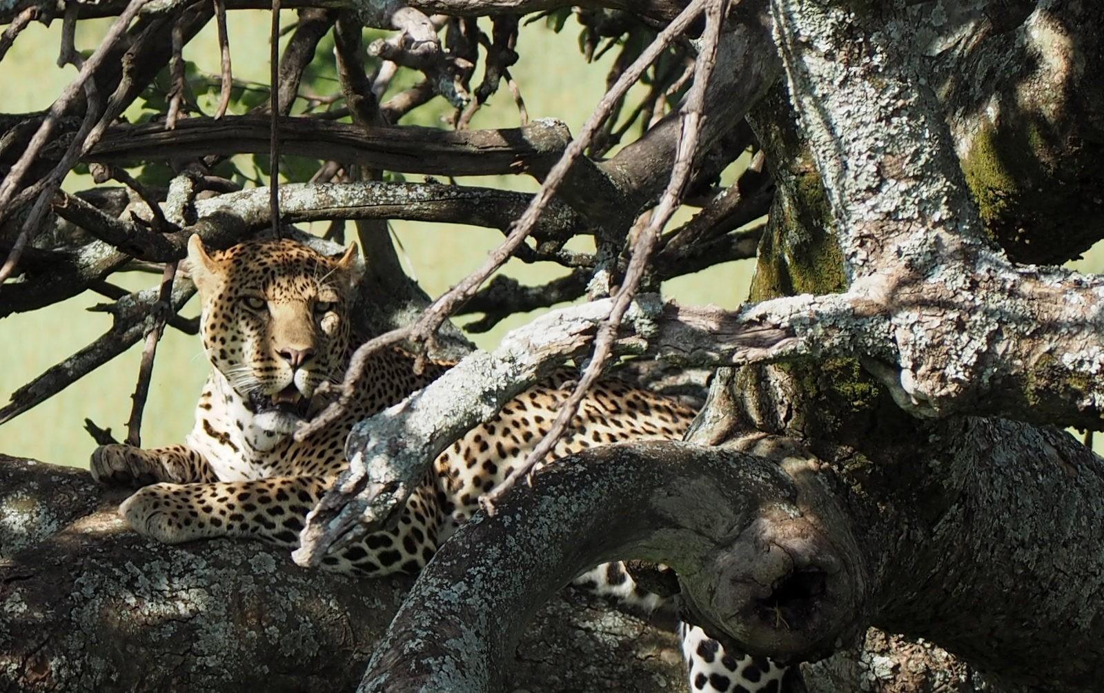 leopardi Masai Mara