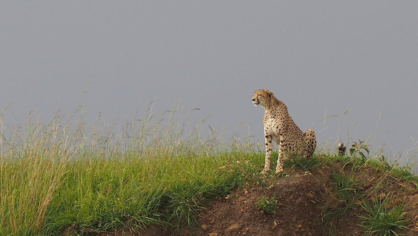 gepardi masai mara