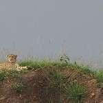 Elämämme gepardit