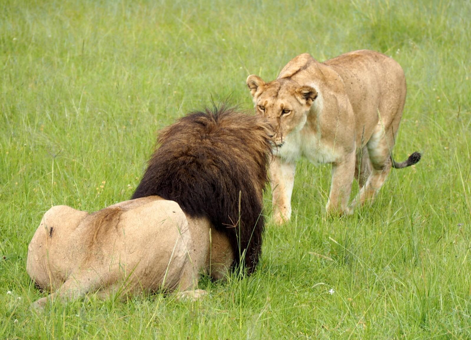 Masain Maran leijonia