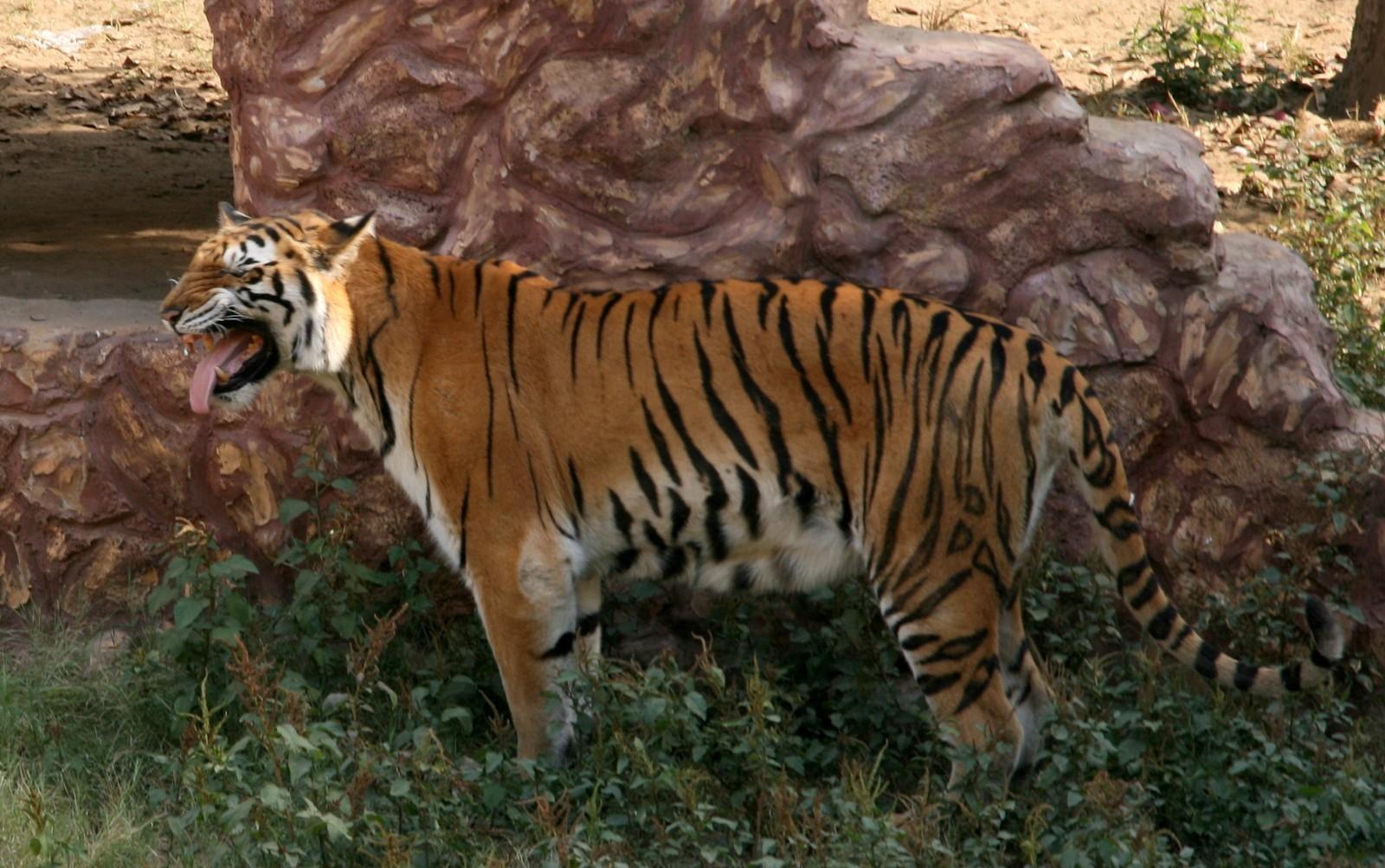 Tiikeri Jaipur