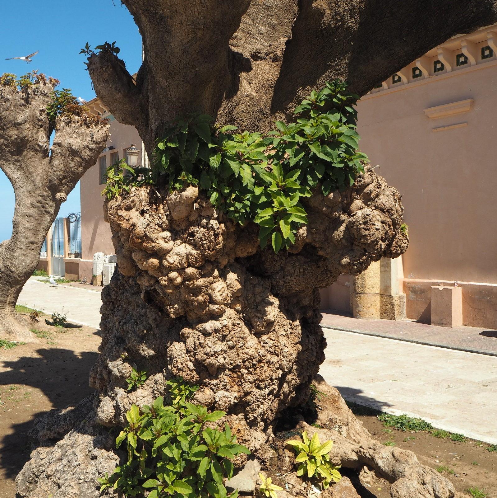 Belombra-puu keväällä Cherchell