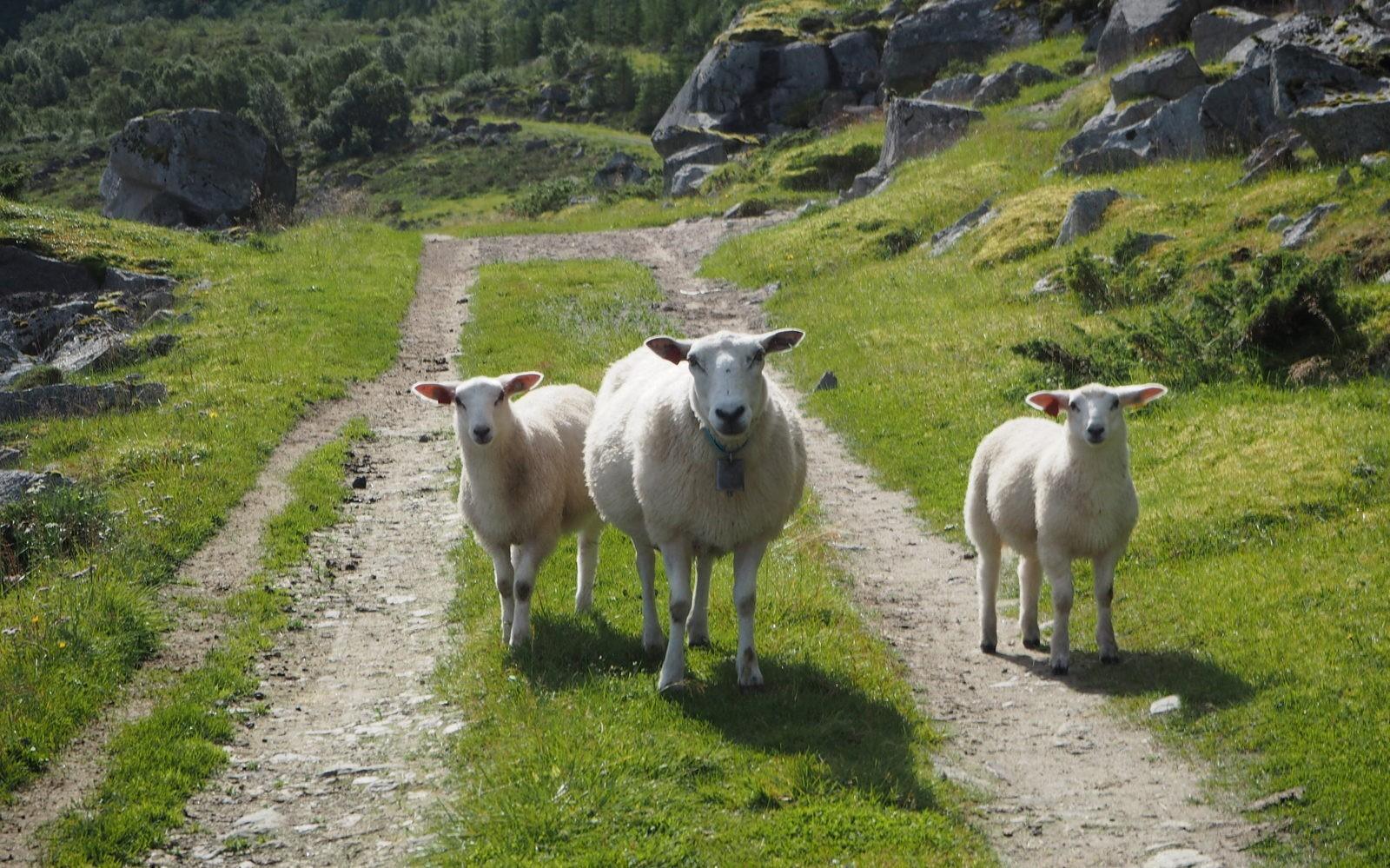 Lammashaassa Lofooteilla