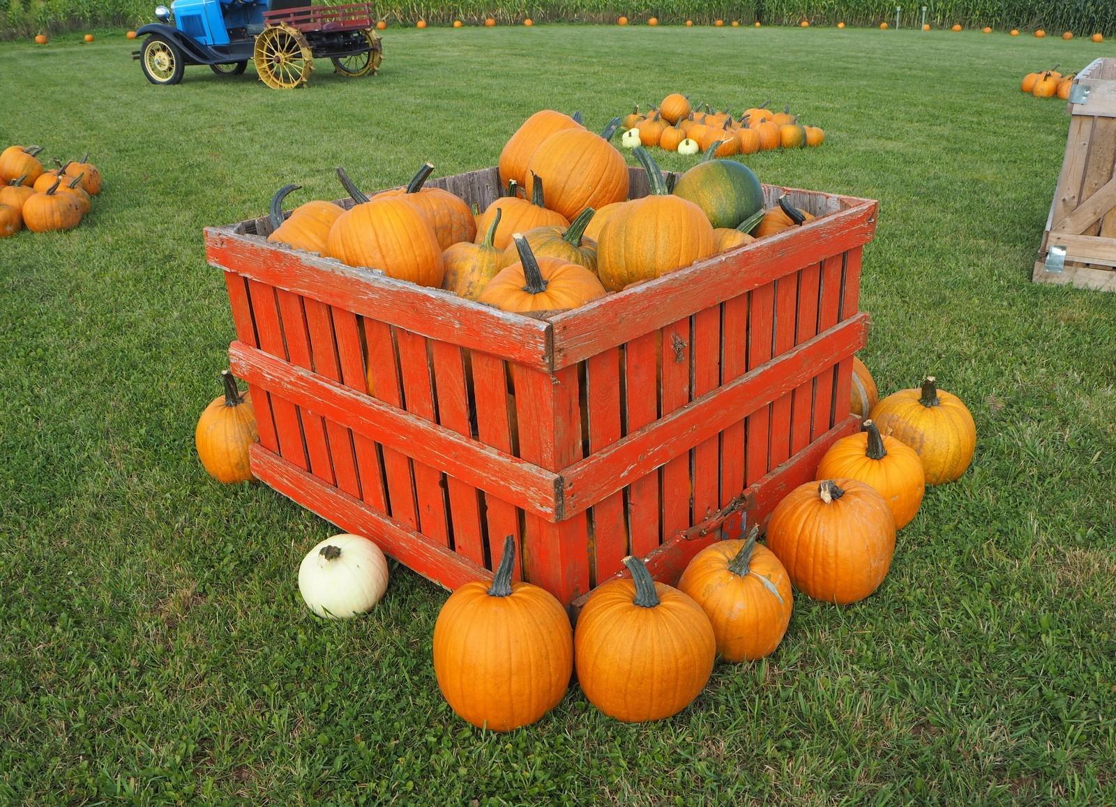 Pumpkin patch Kurpitsapelto Prince Edward Island