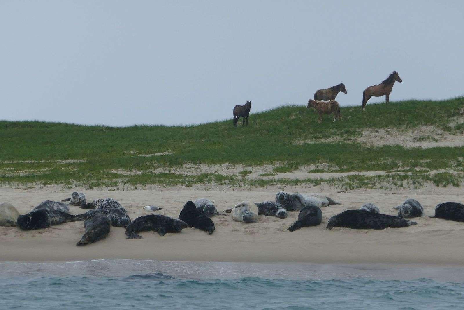 Hevosia Sable Islandilla