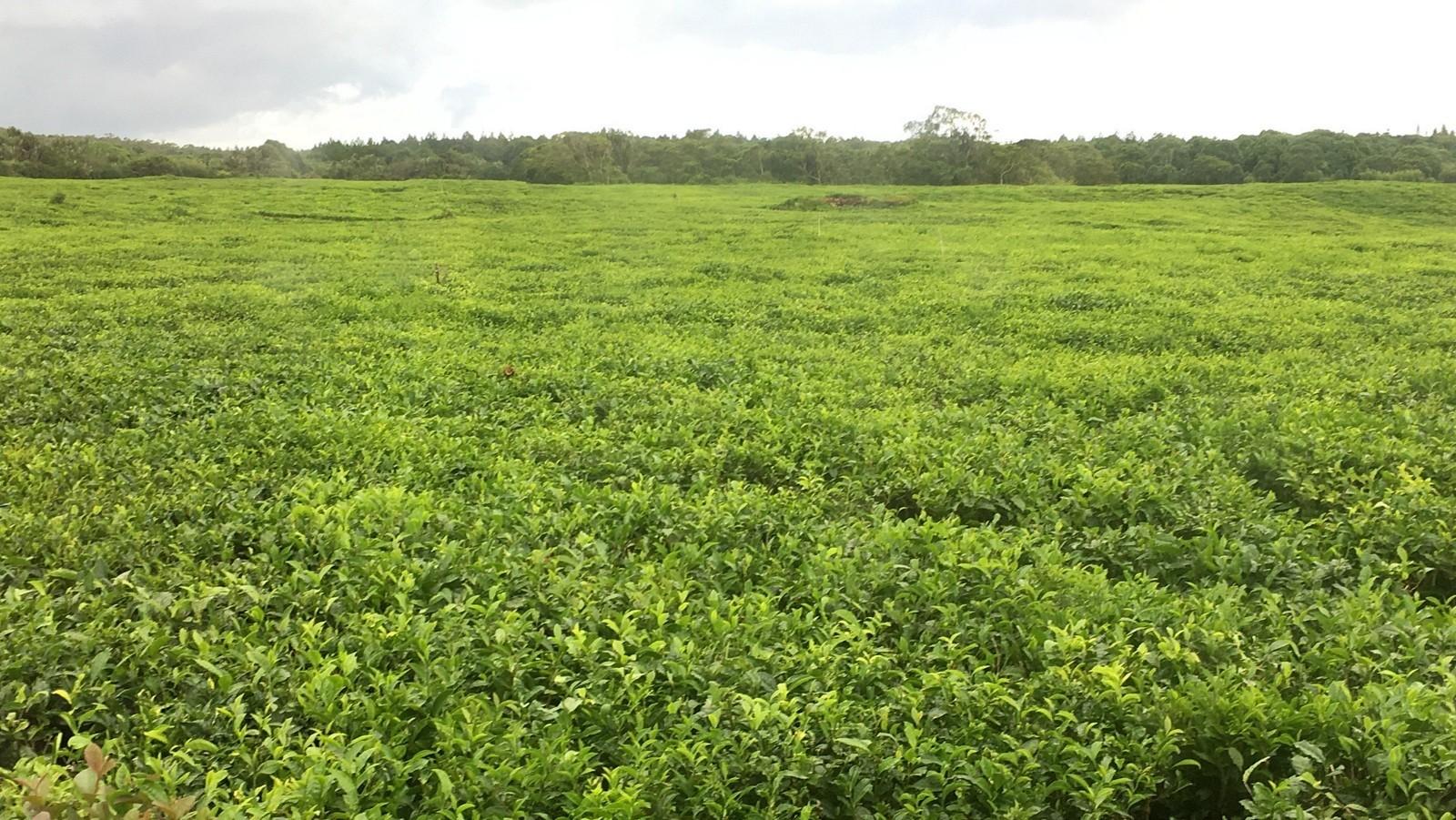 Mauritius Tea
