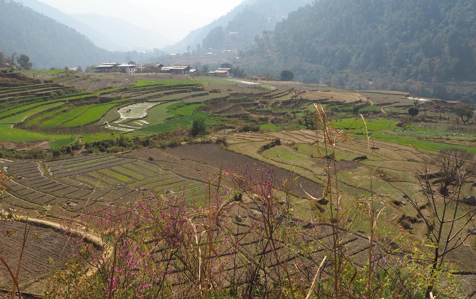Punakha riisipeltoja