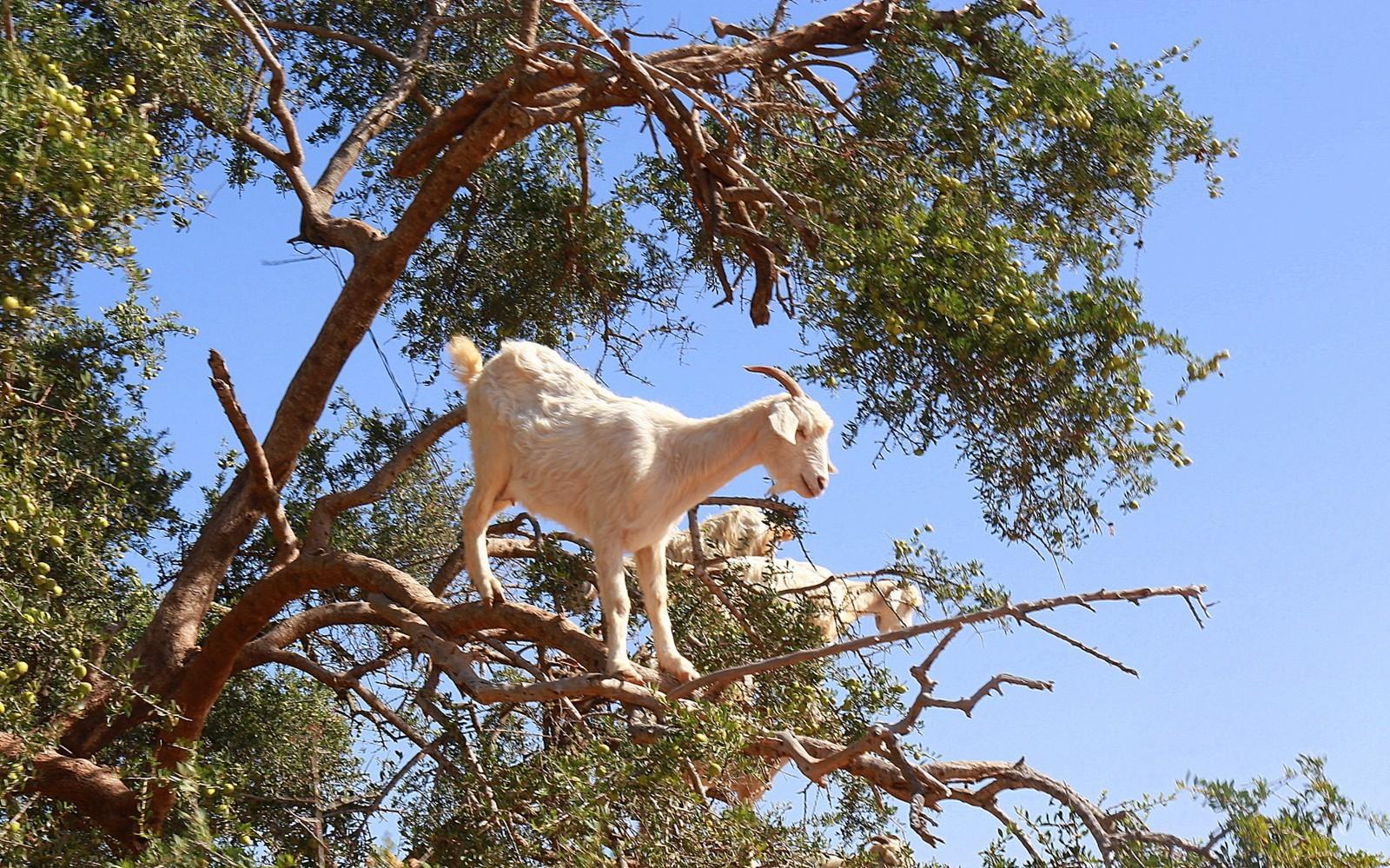 Vuohet Argan-puussa Essaouira
