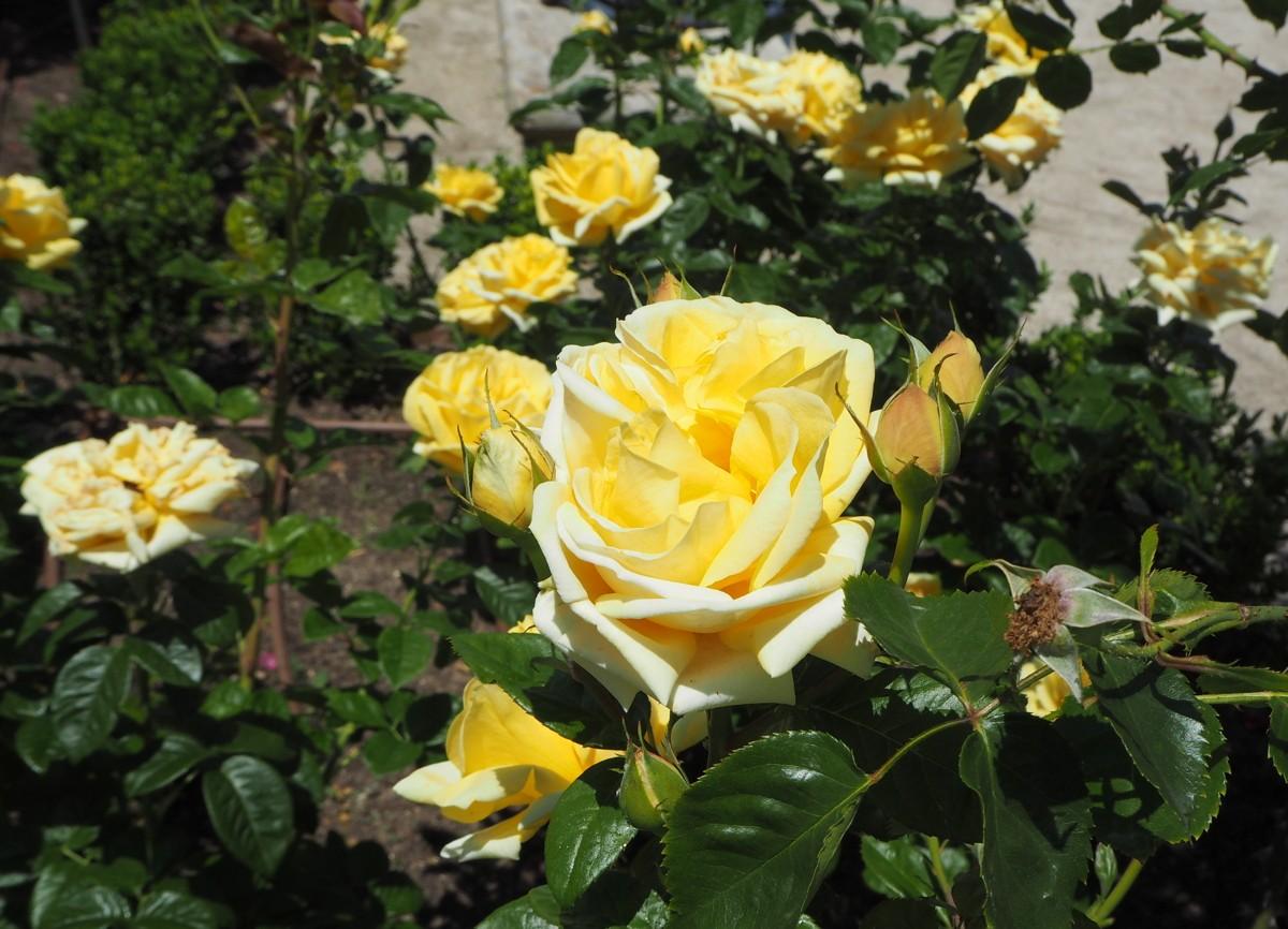 Madrid Retiro Rosaleda rosegarden