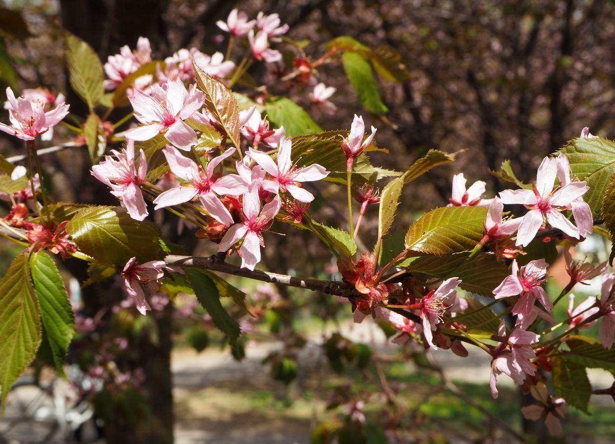 Roihuvuori Kirsikkapuisto
