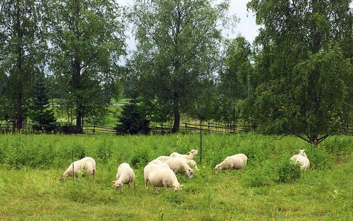 Lampaita Petäjäveden kirkolla